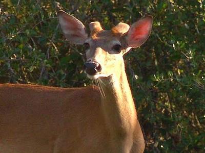 March Deer Management