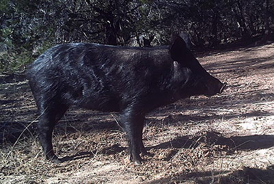 Wild Hog Bowhunt #3