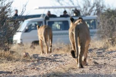 African Wildlife Capture  & Big Cat Photo Safari