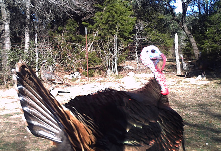 Clues To Wild Turkey Movement