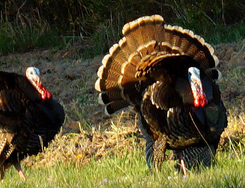 Red Oak Ranch 3rd Turkey Hunt