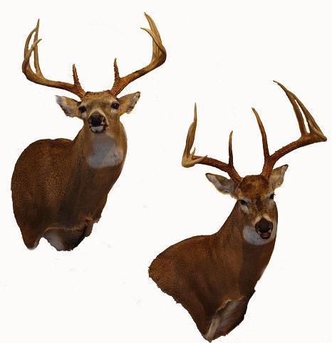 Looking At Deer Mounts