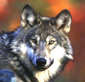 Wolf De-Listing: Mule Deer Foundation Blog