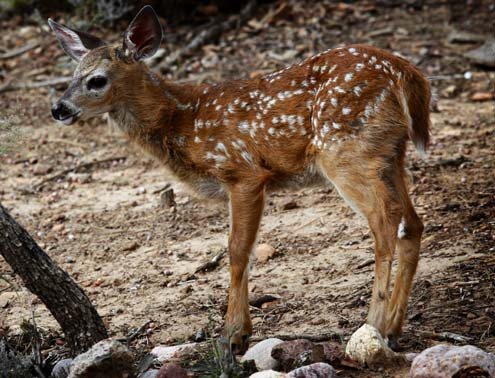 Save a Fawn – Memorable Predator Lessons