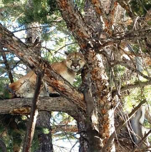 Mountain lions are being encroached on by humans and encroaching on humans in CA with bad results.