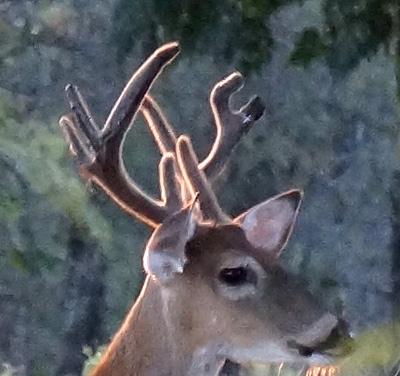 The Gear Head Buck
