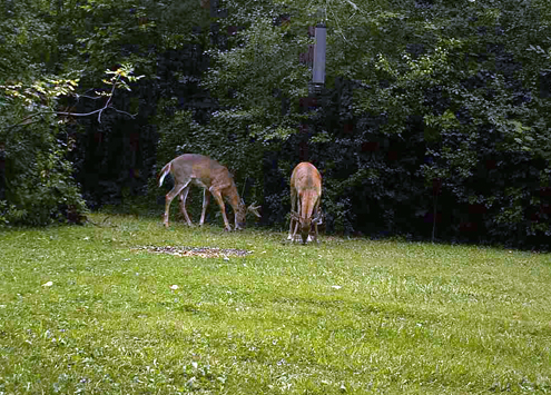 With the feeder at work, the deer come to feed.