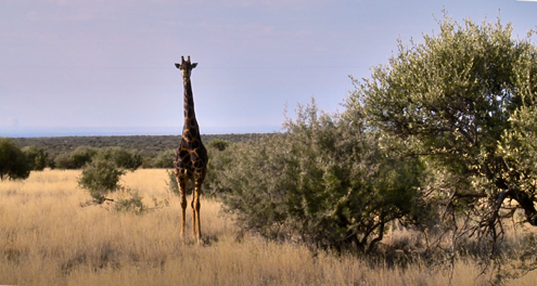 The 'old black' giraffe, larger, taller and meaner that his counterparts.