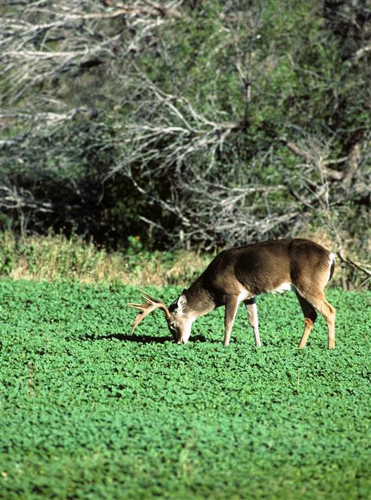 Even your food plot plants can probably pick up infectious prions and pass them on to any animal that feeds there.