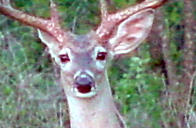 Why is Deer Vision Overlooked?
