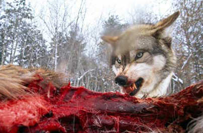 Wolves Kill Female Hikers