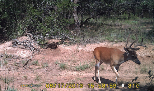 We use Spypoint motion cameras to help us judge age class of bucks
