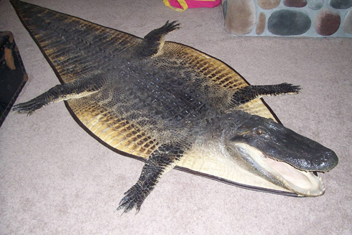 Tyler's gator turned into a great looking gator rug.