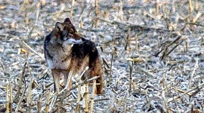 ScentBlocker's Guide to Killing Coyotes