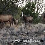 Elk-Video-403