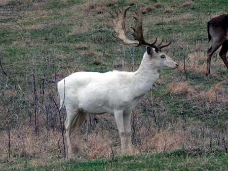 Fallow deer are just one of many exotics available  for hunting on Texas ranches.  Some of these ranches raise, and/or sell hunts for the 3 amigos.
