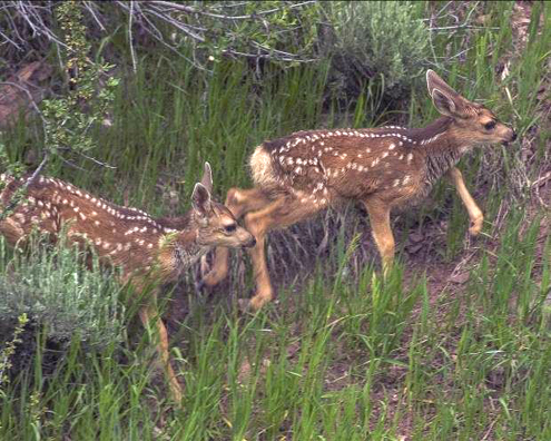 pic-3-twin-fawns