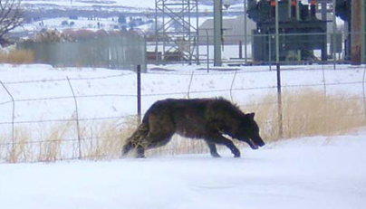 Washington State Wolf Population Up to 52