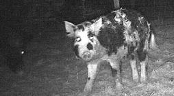 Minnesota Bowhunters VS Wild Hogs