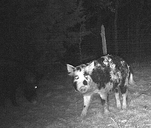 wild hog bowhunt