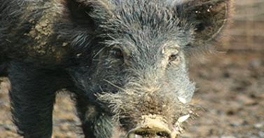 Minnesota Bowhunters VS Wild Hogs: Day 4: Danger!