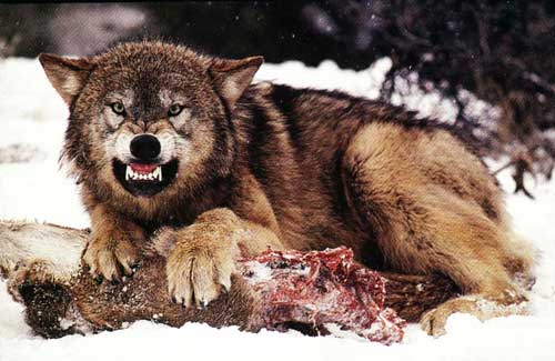 Wolves - Once A Mongrel Always A Mongrel