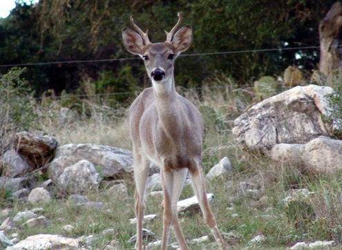 Yearling bucks seem to get the travel-bug early. Their first road trip occurs when their antlers are about like this youngsters.