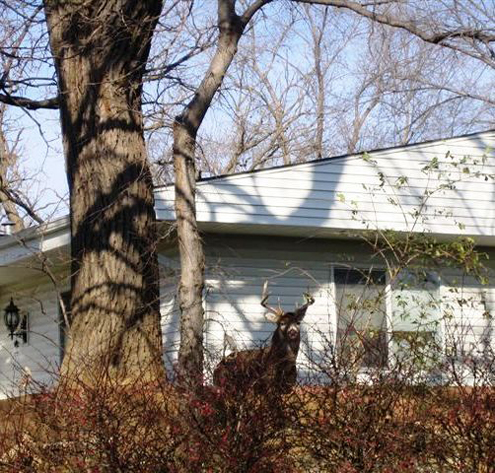 Deer in back yards is become a common sight in thousands of cities and towns.