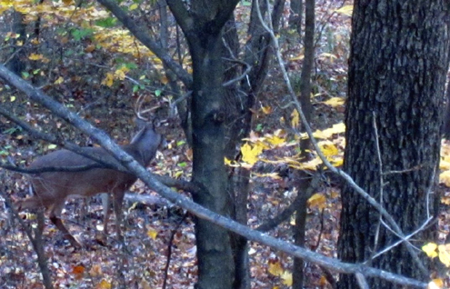 For many bowhunters, sighting a mature buck like this Indiana whitetail is the next best thing to releasing an arrow.