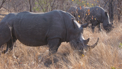 Hunting Money Can Save Rhinos