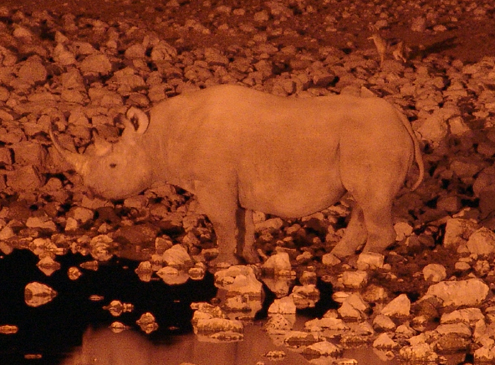 While White Rhinos are poached the Black Rhino is more often the target of poachers.