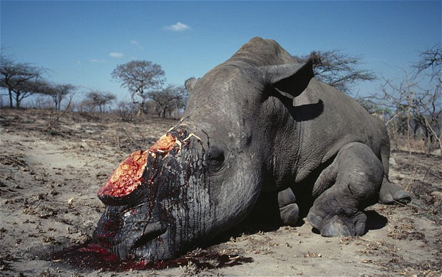 This rhino was killed just for the horns.