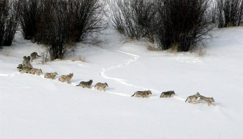Not even the largest of North American big game could survive a pack of this size.  Each of these wolves require the equivalent of 25 elk per year...just to survive.