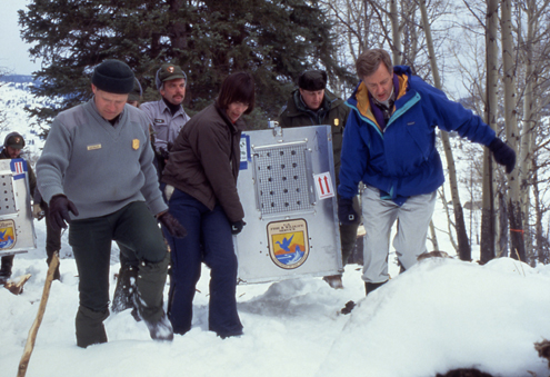 The slaughter of Northern Rockies wildlife began with this release of Canadian wolves, lead by then Secretary of the Interior Bruce Babbitt, wearing the blue jacket.