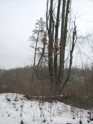 """Here is the famous """"Donn"""" Stand in the Five-Way Cherry tree. This is the deer view from 20-yards west. Note how the turf slopes away behind the stand and gives your scent a trip into the void."""