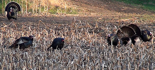 Day-01-Gobblers-Hens-1