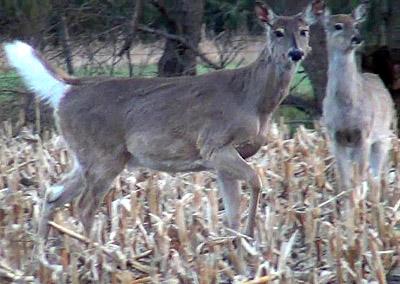 Watching Deer This Morning