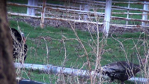A hen walks by on the opposite side of the fence  with a Longbeard following behind .