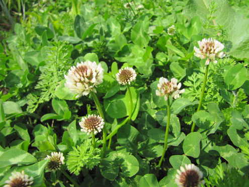 "Clover varieties sometimes use both flower/seed production to repopulate a plot or they send out horizontal root rhizomes that emerge and send up a stem and a root goes down. White flowers mean ""White Clover."""