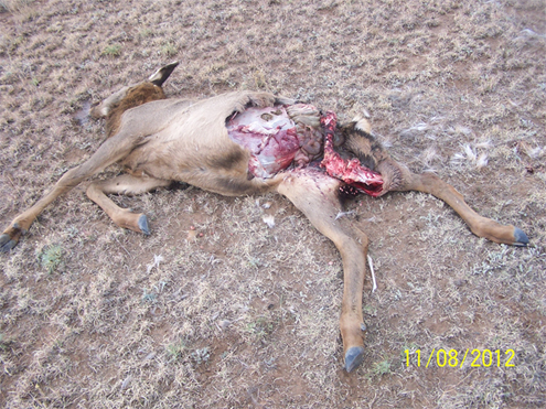 A typical wolf killed healthy yearling elk.