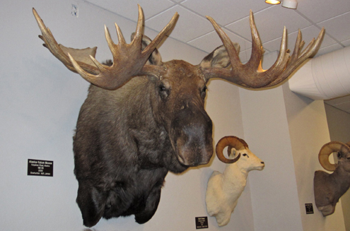 One of the impressive mounts you'll see on display at the Pope & Young Club/St. Charles Museum of Bowhunting; Alaska-Yukon Moose donated by M.R. James, founder of Bowhunter Magazine.