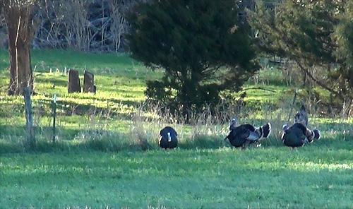 Truck-turkeys-1