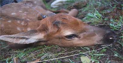 P&Y Club Complete 3-Years of Bitterroot Elk Project