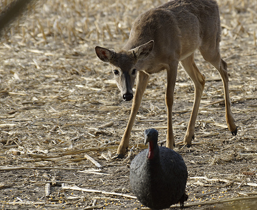 deer-433