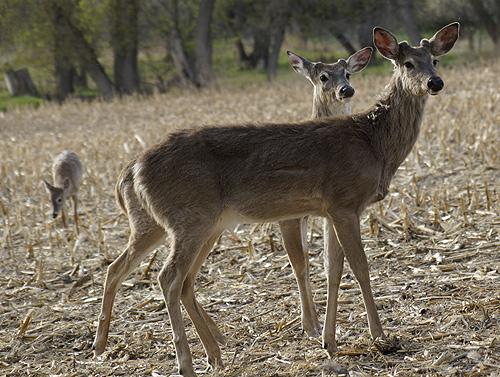 deer-445