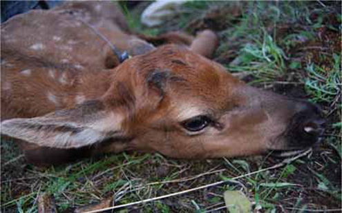 Neonatal calf captured in June 2011 in the West Fork of the Bitterroot.