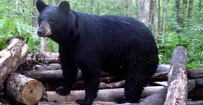 New York Adopts New Bear Hunting Regulations
