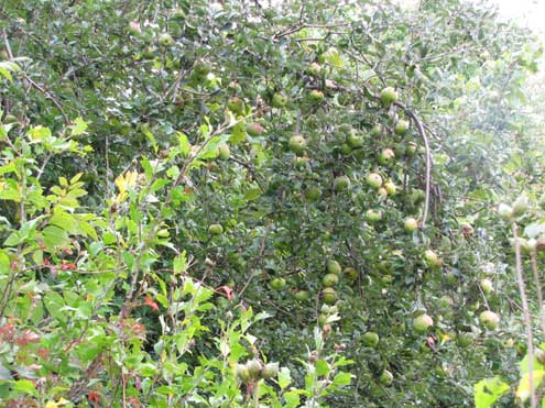Apple trees may drop bushels of hi-carb apples to the ground across a 30-day period. Find a late apple and you have a whitetail hot spot.