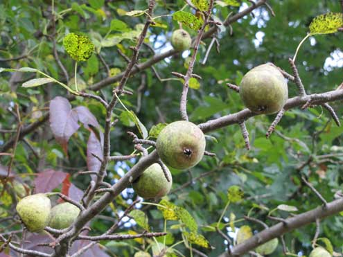 Pears are a whitetail favorite. We have two pear trees on the farm and all resident deer know their location.