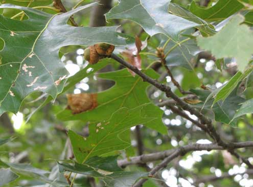 Acorns are the first choice for whitetails. Know your oaks. Red oaks leaves with pointy edges and rounded edges are found on white oaks.